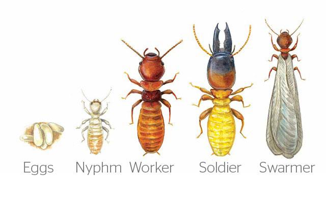 identify dampwood termite types
